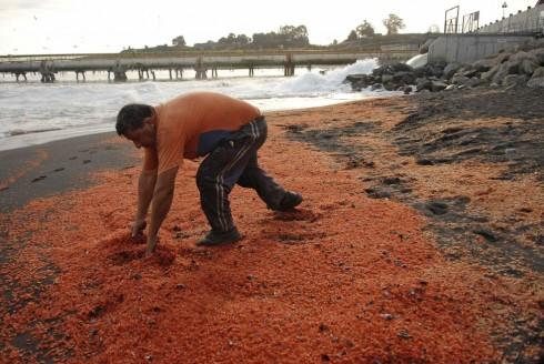 Gamberetti morti sulla spiaggia di Coronel Town in Cile