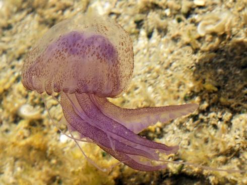Medusa Pelagia Nocticula